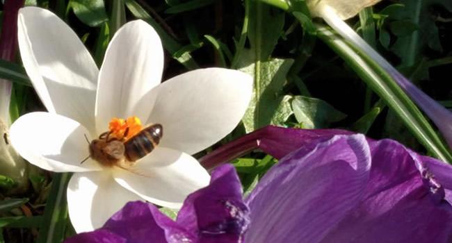 Great Ayton Bug Trail bee on a crocus